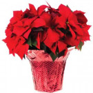#10 Live Poinsettia (In-Store Only)-10INP2013_UMB 205688913