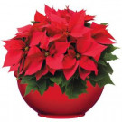 12 in. Bellina Bowl Poinsettia (In-Store Only)-10028_UMC 205688903