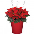 8 in. Bella Upgraded Poinsettia (In-Store Only)-8INP2013_UMA 205688901